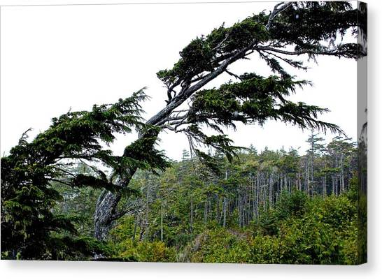 West Coast  Trees In Rain Canvas Print