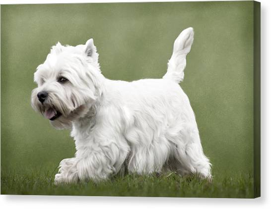West Highland Terrier Trotting Canvas Print