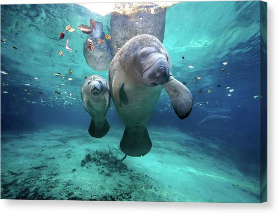 Full Canvas Print - West Indian Manatees by James R.D. Scott