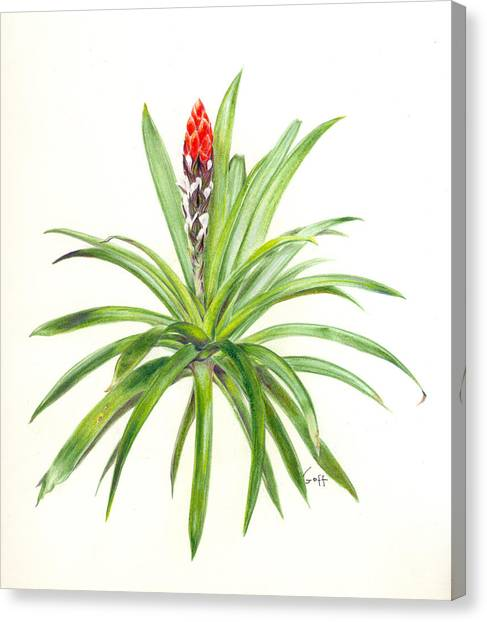 West Indian Tufted Air Plant Canvas Print