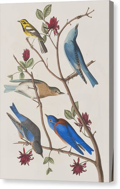 Warblers Canvas Print - Western Blue-bird by John James Audubon