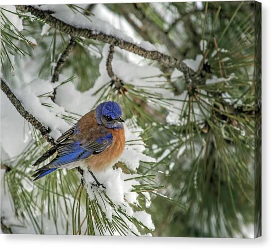 Western Bluebird In A Snowy Pine Canvas Print