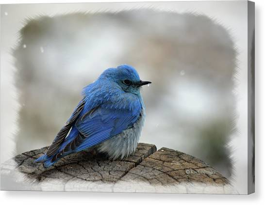 Western Bluebird On Cold Day Canvas Print