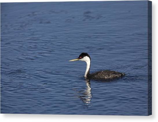 Western Grebe In Late Afternoon Light Canvas Print