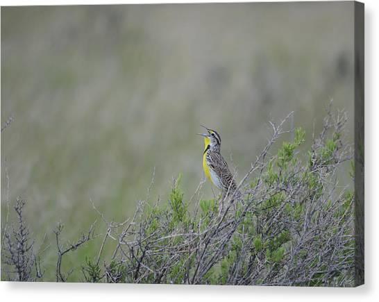 Meadowlarks Canvas Print - Western Meadowlark Morning by Whispering Peaks Photography