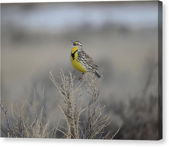 Meadowlarks Canvas Print - Western Meadowlark by Whispering Peaks Photography
