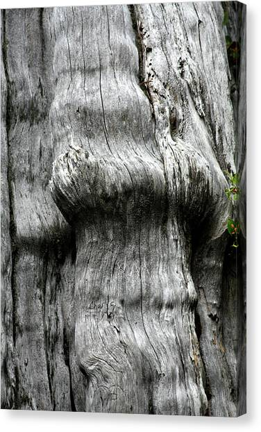 Old Home Canvas Print - Western Red Cedar - Thuja Plicata - Olympic National Park Wa by Christine Till