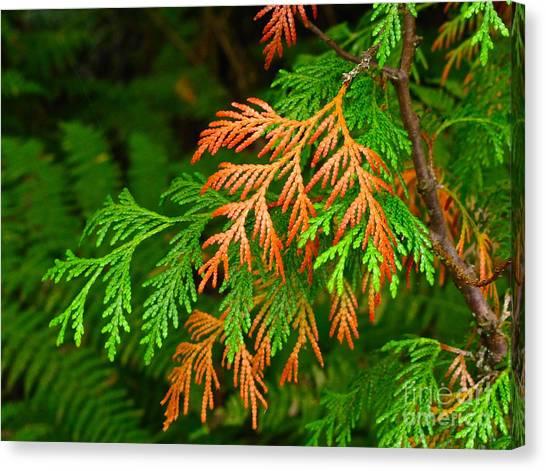 Western Red Cedar Canvas Print