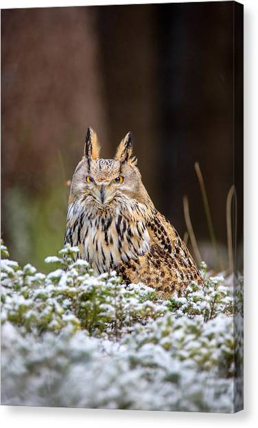 Western Siberian Owl Canvas Print