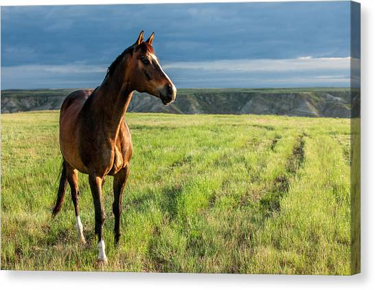 Horse Farms Canvas Print - Western Stallion by Todd Klassy