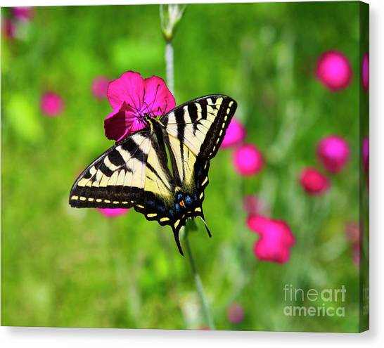 Western Tiger Swallowtail Butterfly Canvas Print