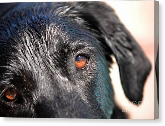 Wet Black Lab Canvas Print