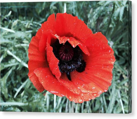 Canvas Print - Wet Poppy by Orphelia Aristal