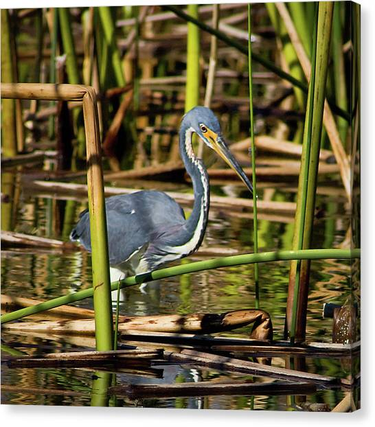 Wetlands Are My Home Canvas Print by Dawn Currie
