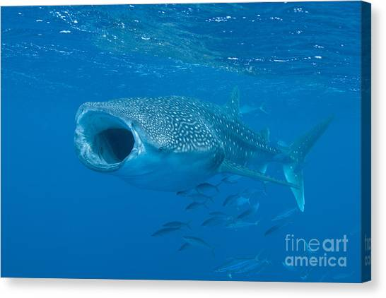 Canvas Print featuring the photograph Whale Shark, Ari And Male Atoll by Mathieu Meur