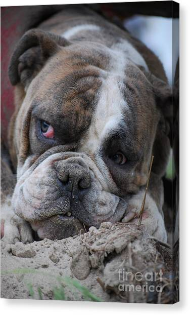 English Bull Dogs Canvas Print - What A Face by Joy Bradley