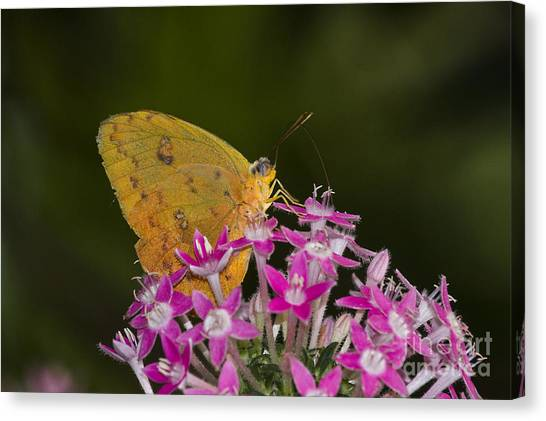 Sulfur Butterfly Canvas Print - Yellow Sulfur On Pink Flowers  by Ruth Jolly