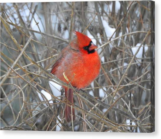 Winter Cardinal Red Bird Canvas Prints Page 31 Of 34 Fine Art