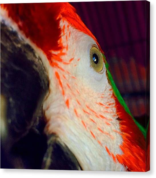 Macaws Canvas Print - What Is It? #pet #macaw by Rodolfo Salgado