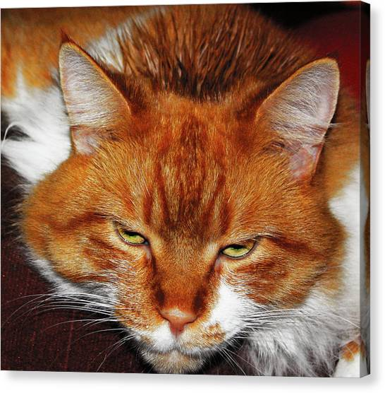 Main Coons Canvas Print - What? by Scott Stewart