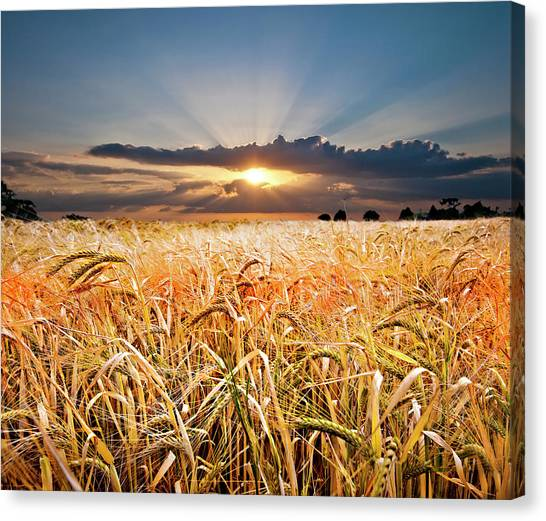 Meadow Canvas Print - Wheat At Sunset by Meirion Matthias