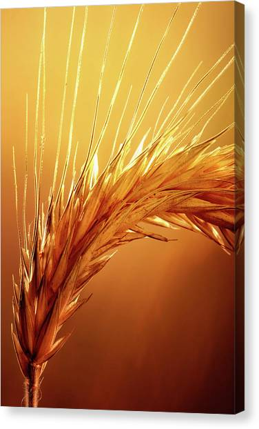 Harvest Canvas Print - Wheat Close-up by Johan Swanepoel