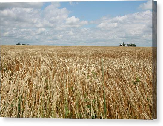 Canvas Print featuring the photograph Wheat Farms by Dylan Punke