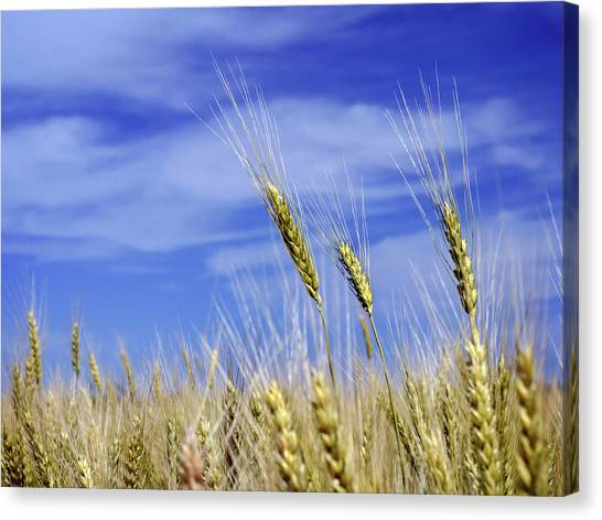 Wheat Trio Canvas Print
