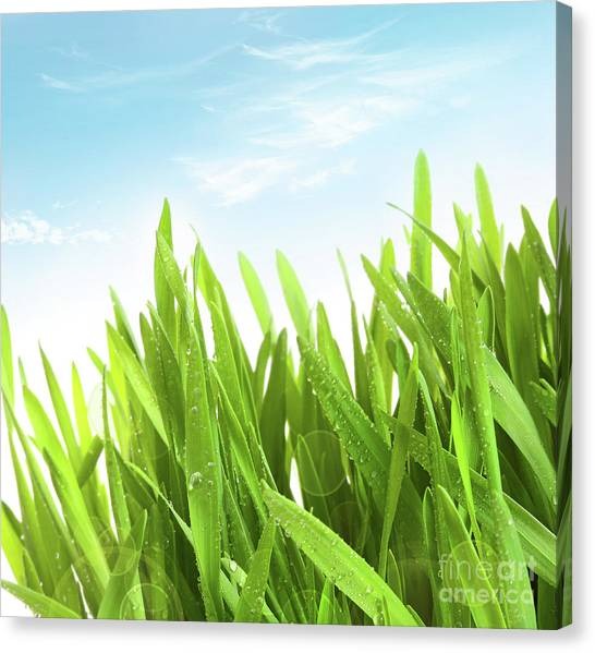 Wheatgrass Against A White Canvas Print