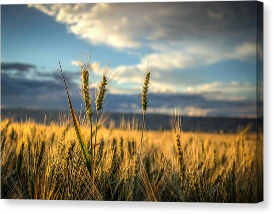 Wheat's Up Canvas Print