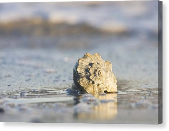 Whelk Shell In Surf Canvas Print