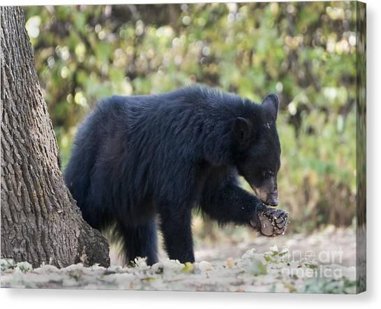 Black Bears Canvas Print - Where Is That Thorn by Mike Dawson