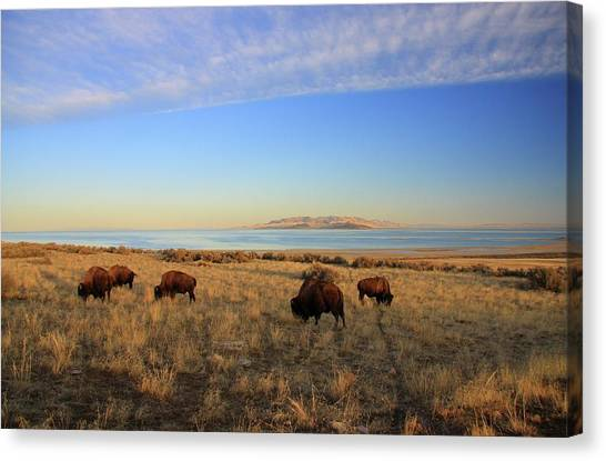 Where The Buffalo Roam Canvas Print by Gene Praag
