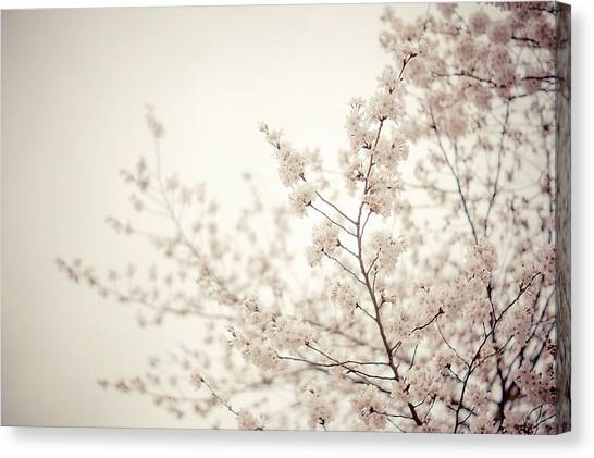 Spring Trees Canvas Print - Whisper - Spring Blossoms - Central Park by Vivienne Gucwa