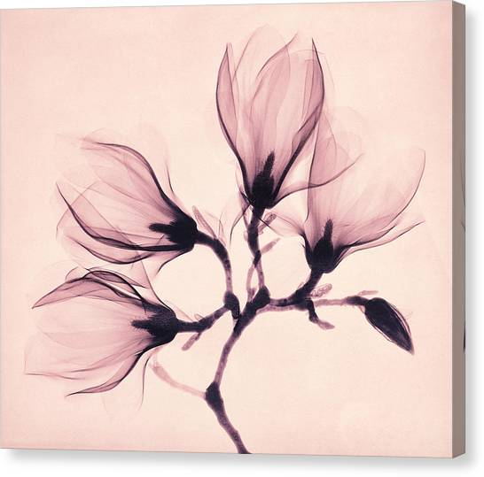 Magnolia Canvas Print - Whisper Magnolia by Mindy Sommers