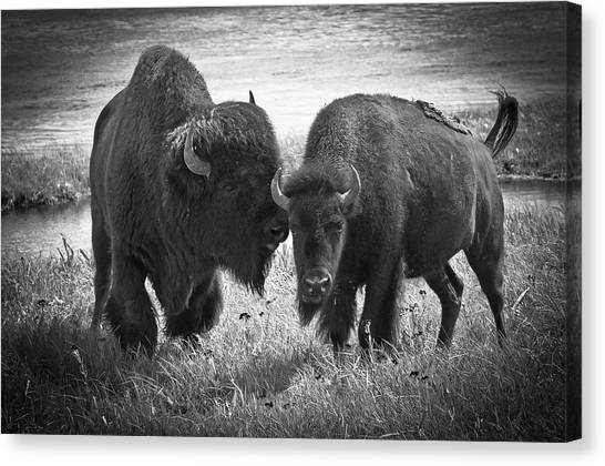 Whispering Bison Canvas Print