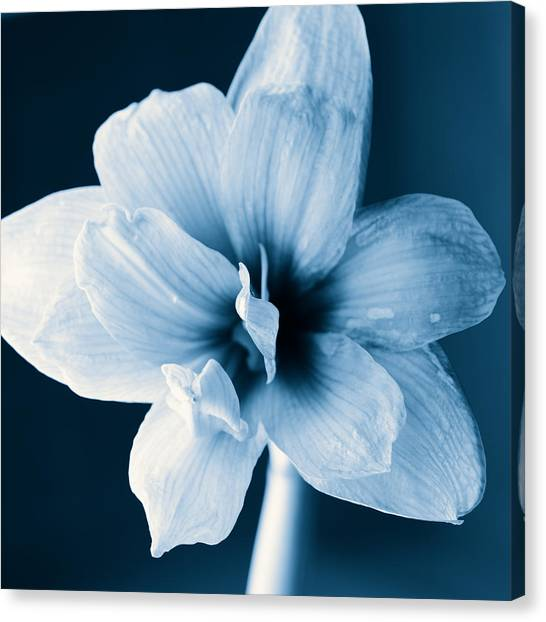 Andy Bloom Canvas Print - White Amaryllis Flower In Black And White In Blue Tones by Andy Smy