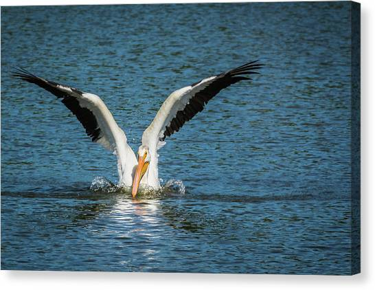 White American Pelican Canvas Print