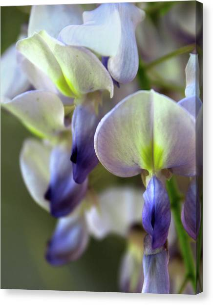 Wisteria White And Purple Canvas Print