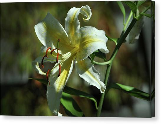 White And Yellow Asiatic Lilly No 1 Canvas Print