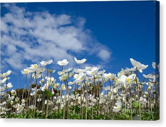 White Anemones At Blue Sky Canvas Print