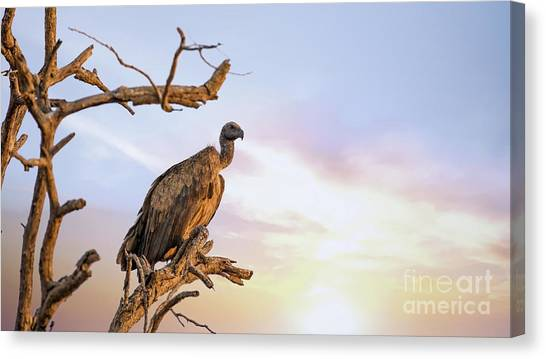 Vultures Canvas Print - White-backed Vulture At Sunset In Kruger National Park by Jane Rix