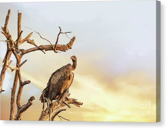Vultures Canvas Print - White-backed Vulture by Jane Rix