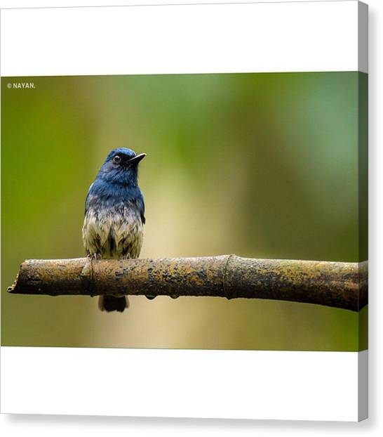 Flycatchers Canvas Print - White-bellied Blue by Nayan Hazra