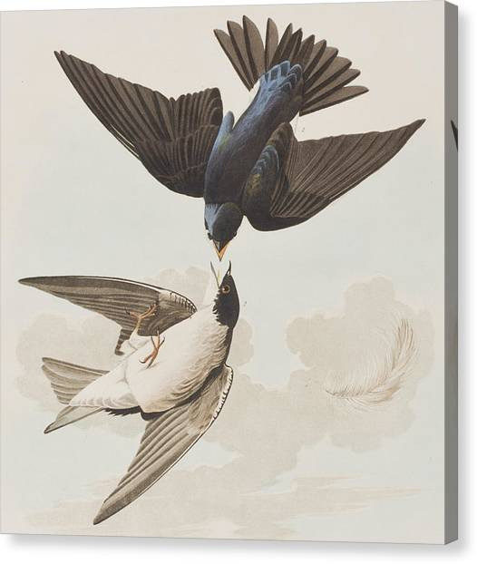 Swallow Canvas Print - White-bellied Swallow by John James Audubon