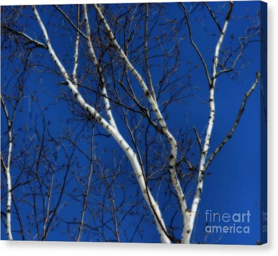 White Birch Blue Sky Canvas Print