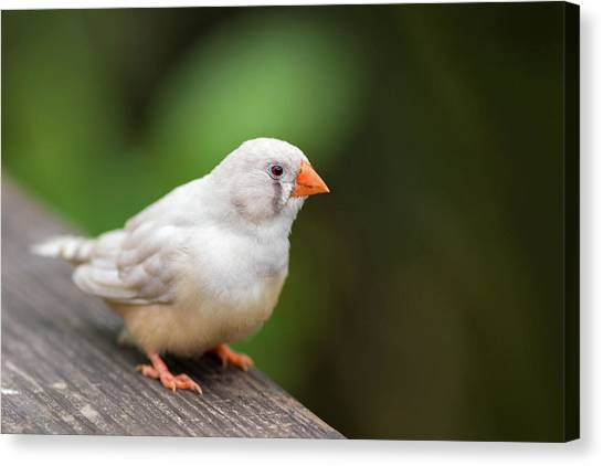 Canvas Print featuring the photograph White Bird Standing On Deck by Raphael Lopez