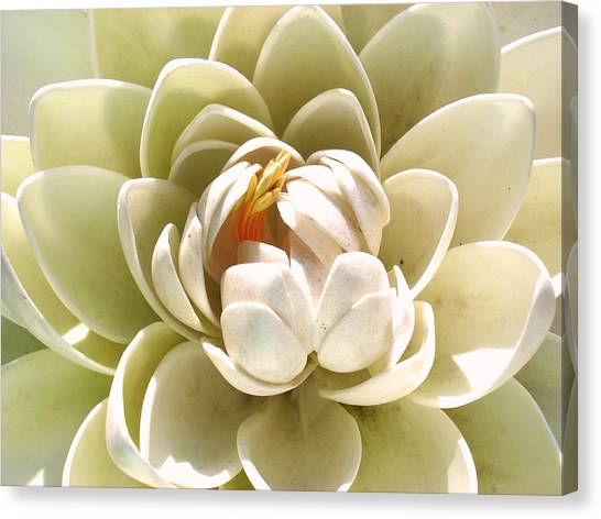 White Blooming Lotus Canvas Print