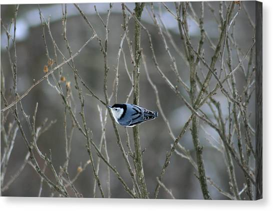 White Breasted Nuthatch 3 Canvas Print by George Jones