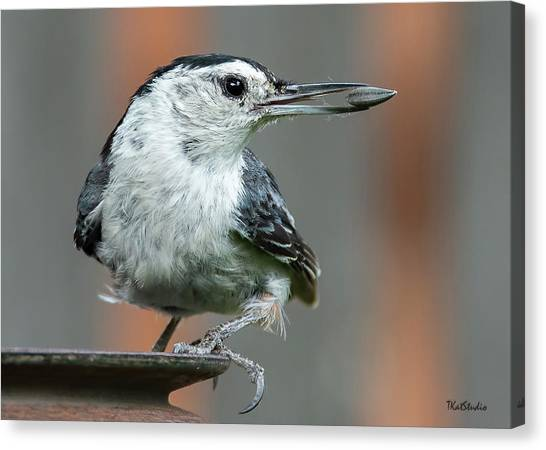 White-breasted Nuthatch With Sunflower Seed Canvas Print